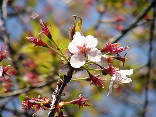 淵野辺公園の桜